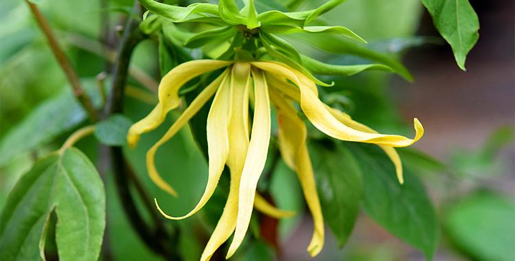 花々の中の花 イランイランの甘い香り